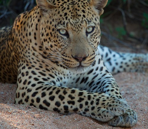A leopard sits resting in a dried up river bed