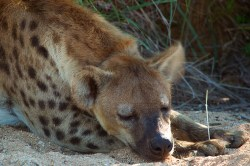 A hyena sits comfortably after breakfast