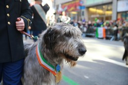 An Irish Wolfhound takes part in the St. Patrick's Day Parade, March 17, 2016, in New York. (Gordon Donovan/Yahoo News)