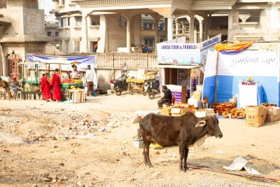 A cow stands near the Kalachakra Area