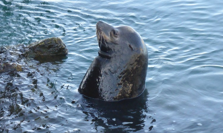 Seals live near California tide pools