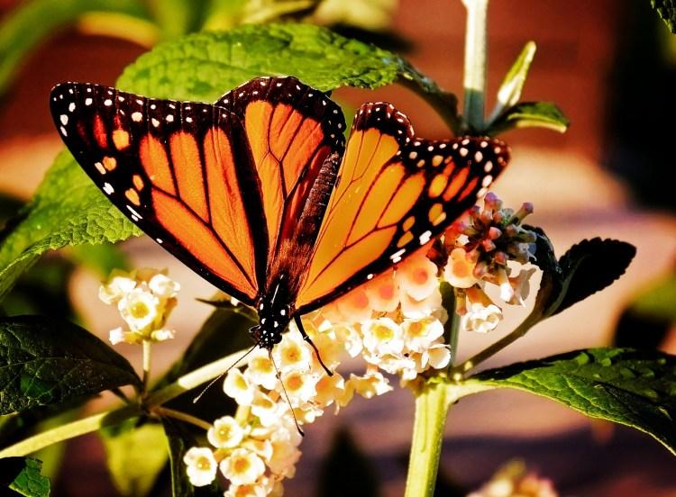 Preserve Monarch butterflies.