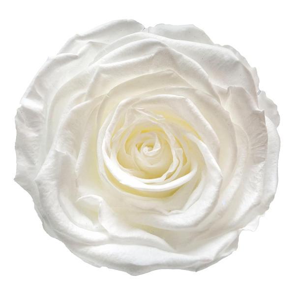 White roses in NY
