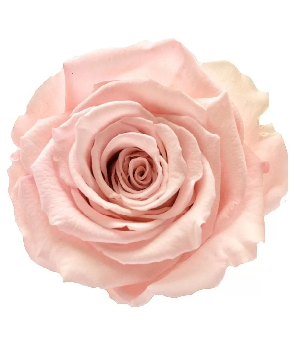 pastel roses, wedding party roses, sweet 16 roses, single roses for party,
