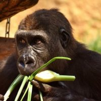 What Do Gorillas Eat - Gorilla Diet