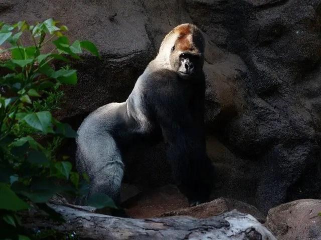 How Long Do Gorillas Live - Gorilla Lifespan