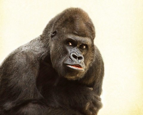 How Long Do Gorillas Live