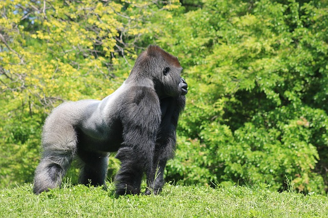 Where Do Gorillas Live - Gorilla Habitat