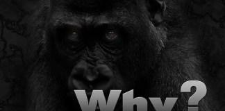 Why Are Gorillas Endangered - Gorilla Endangered Species