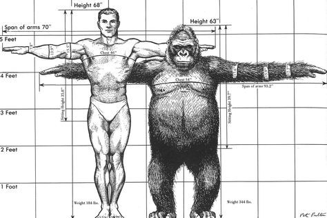 gorilla vs human comparison