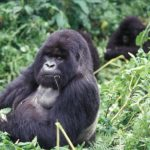 Where Do mountain Gorillas Live