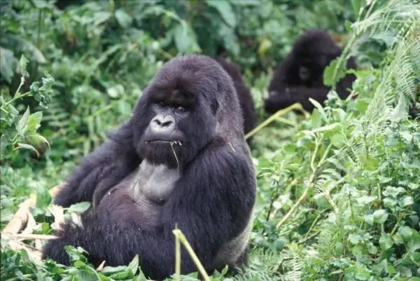 Where Do mountain Gorillas Live