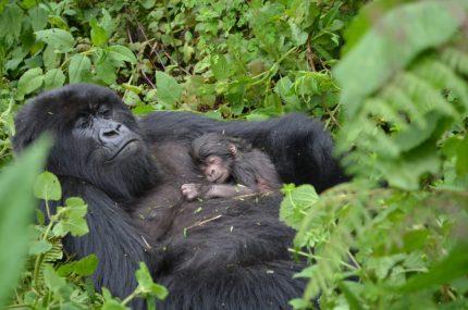 5TF: Gorilla Infancy - Dian Fossey - Infant Gorillas -