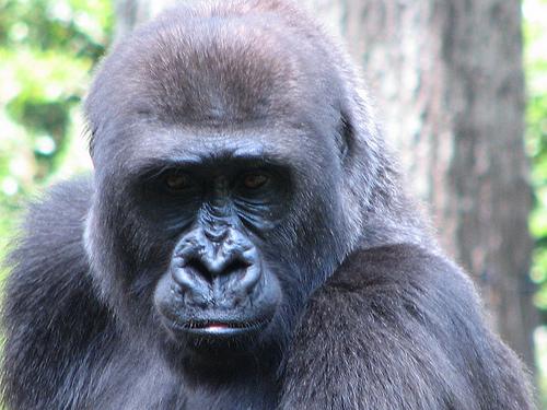 No, It's a Low-Fat, High-Fiber Diet That Keeps Gorillas Lean!