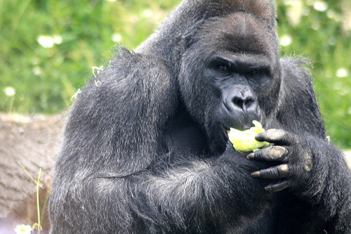 Gorillas Eat Leaves!