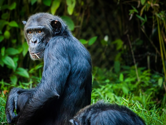 Why Do Chimpanzees Eat Meat?