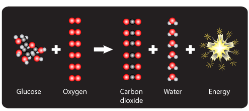 Glucose plus oxygen yields carbon dioxide, water, and energy