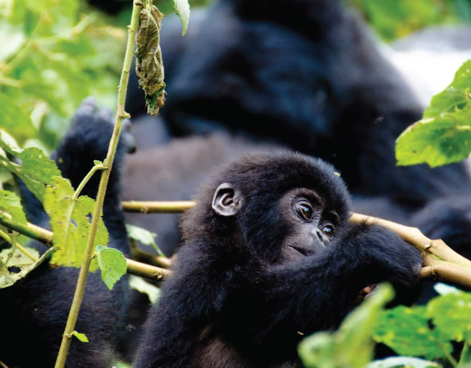 Bwindi Impenetrable Forest - Gorilla Trekking - Uganda Safari