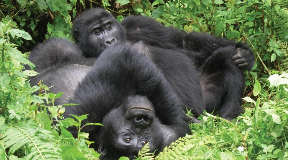Bikingi Gorilla Group, Bwindi Impenetrable Forest