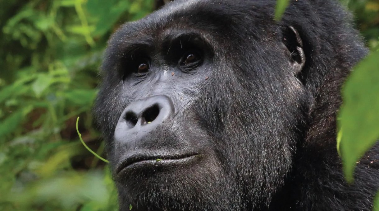The Oruzogo Gorilla Group Silverback