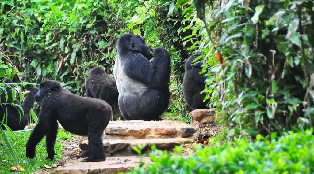 The Rushegura Gorilla Group