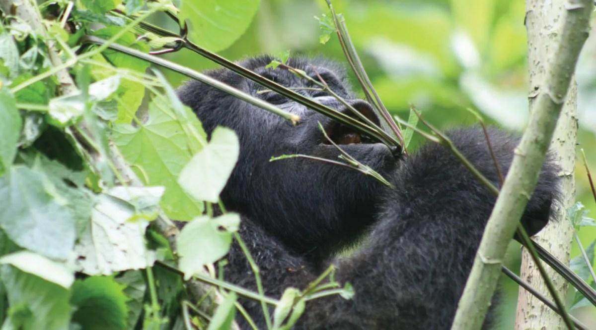 1 day Rwanda Gorilla tracking Experience tour