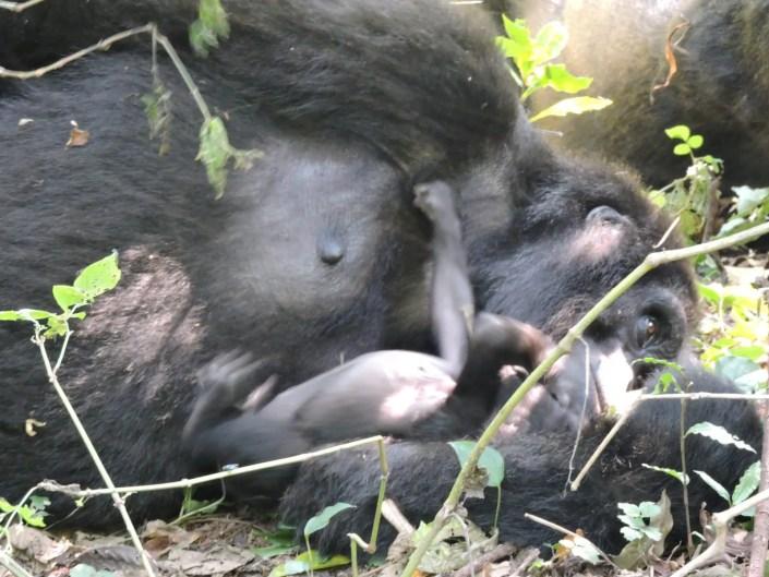 Gorilla tracking day