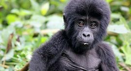 4 Days Gorilla Trekking in Rwanda and Uganda