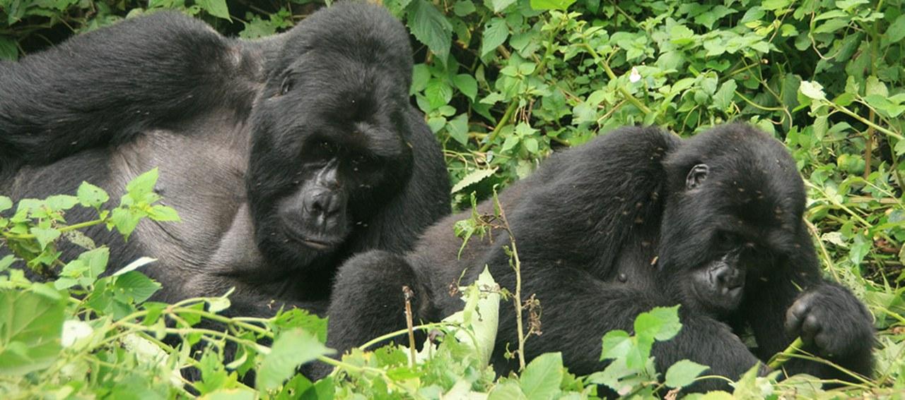 10 Days Primate Safari in Rwanda and Uganda