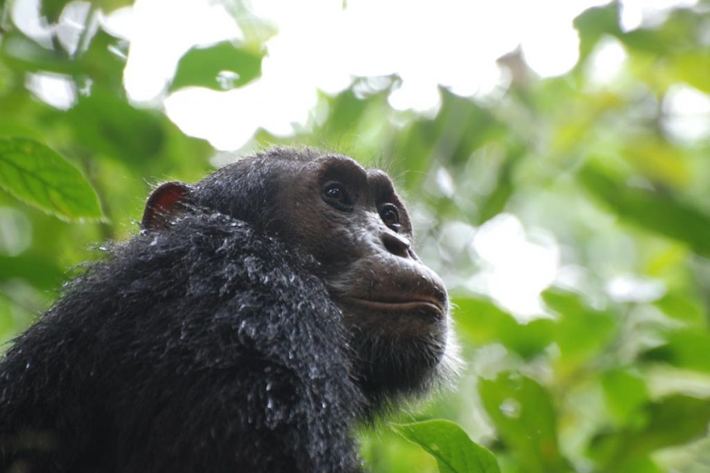 2 Days Chimpanzee Tracking Safari