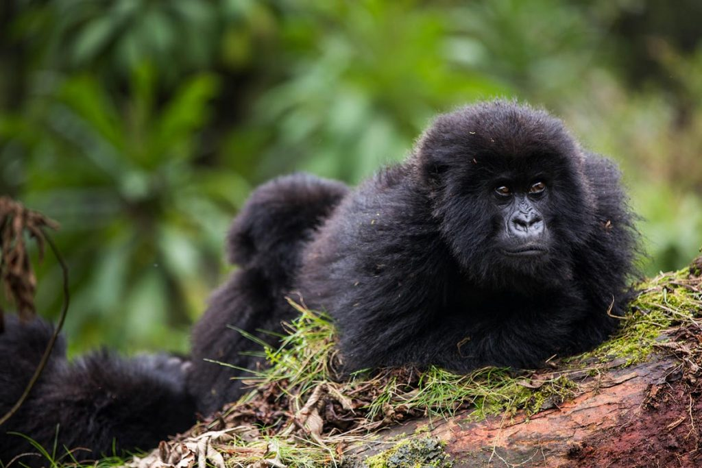 4 Days Rwanda Double Gorilla Tracking Safari