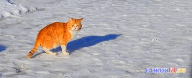 Покровский рыжий кот