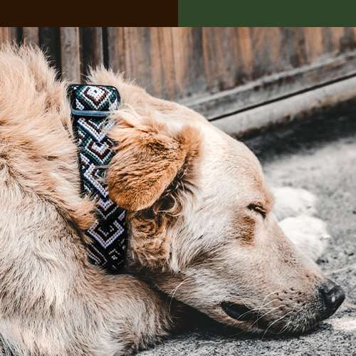 Dog wears brown and green collar with brown and green color bar