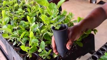 Produção e Comercialização de Mudas Florestais Nativas e Exóticas