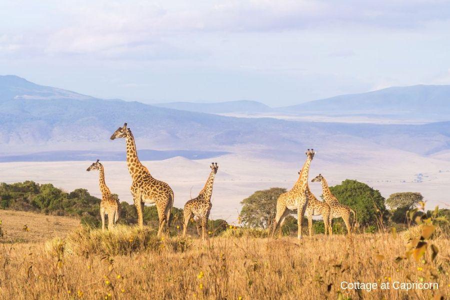 Giraffes in Ngorongoro