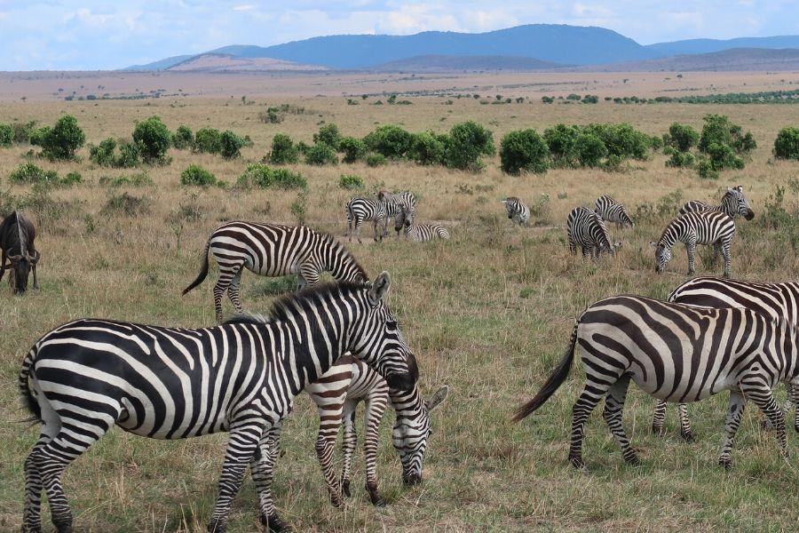 Wildlife zebras in Masai Mara. 4 Incredible Things that Make Up the Masai Mara Experience. Gosheni Safaris