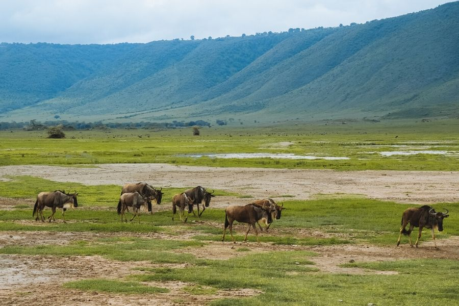 Wildbeests in Ngorongoro. Wildlife Photography Tips for Your Next Kenya Safari. Gosheni Safari