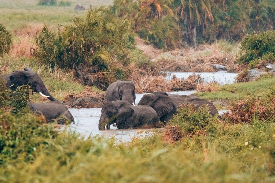 Elephants taking a dip in a river in Kenya. Wildlife Photography Tips for Your Next Kenya Safari. Gosheni Safari