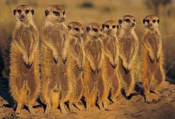 Suricate-Meerkat-family