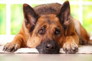 dog-anxiety