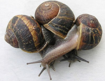 brown_garden_snail