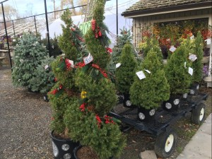 Fresh fir and evergreen trees arriving for Christmas decoration at Gosset Brothers Nursery, South Salem, NY
