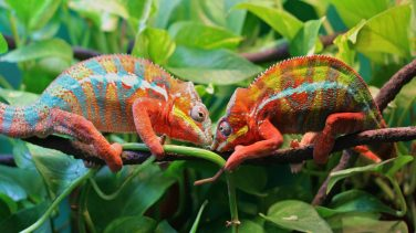 Chameleon-striped-lizard-camouflage-by-changing-the-color-Quality-HD-Desktop-Wallpapers-3840x2160-1920x1080