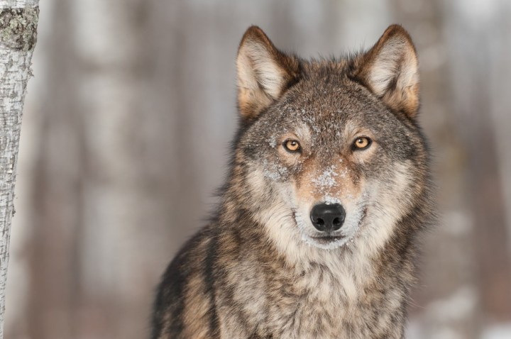 wolf-common-animal-messengers-and-their-meaning