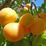 Розмноження абрикос.