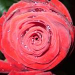 Троянда. Посадка та догляд.