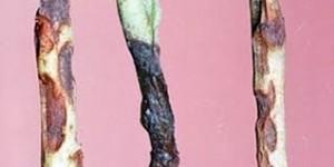 черная ножка