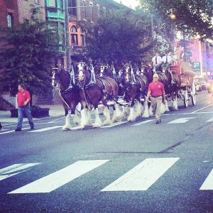 Driving up Broad Street in Philadelphia, I ran into the Budweiser Clydesdales by accident.