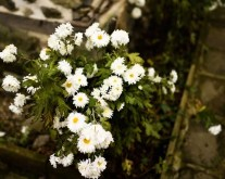 Pretty little flowers that aren't surviving the onset of cold weather
