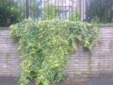 Small Leaved Ivy climbers